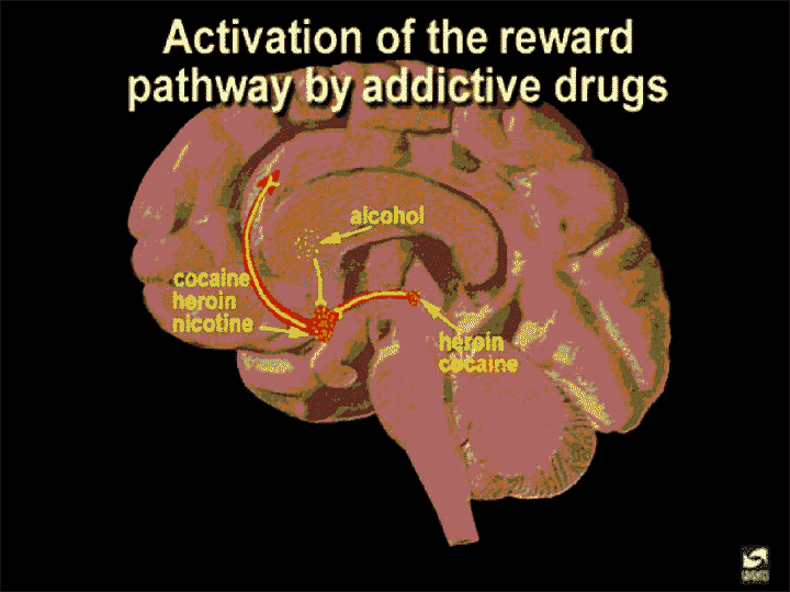 reward pathway by addictive drugs